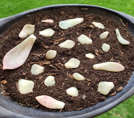 reproduccion de suculentas
