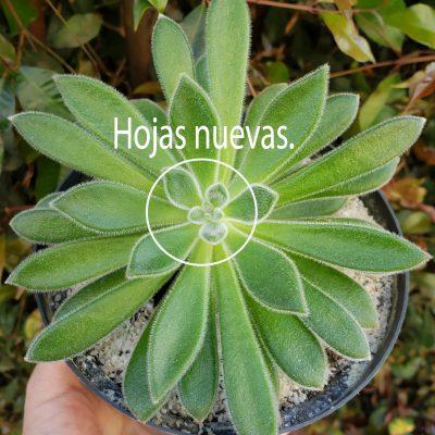 hojas nuevas suculentas