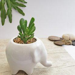 Matera elefante + Suculenta para regalar.